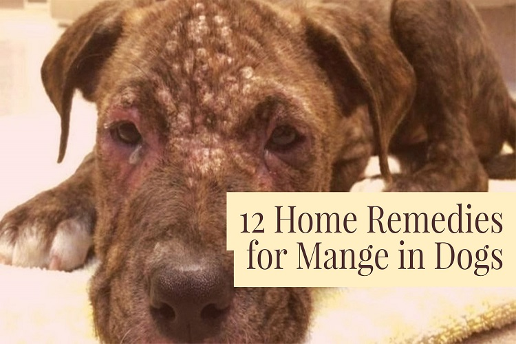 Home Remedies For Mange In Pitbulls
