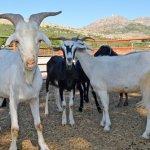 KOZAN'DA KURBANLIK CANLI HAYVAN KİLOGRAM SATIŞ FİYATI AÇIKLANDI