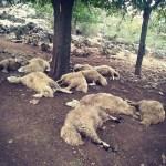 KOZAN'DA YILDIRIM DÜŞMESİ SONUCU 13 KOYUN ÖLDÜ