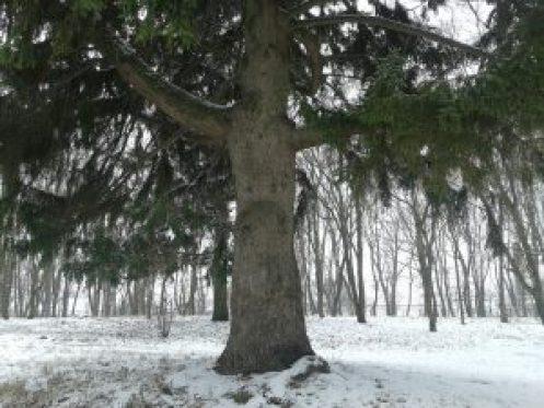 Кагарлик Кагарлык Kaharlyk вікові дерева