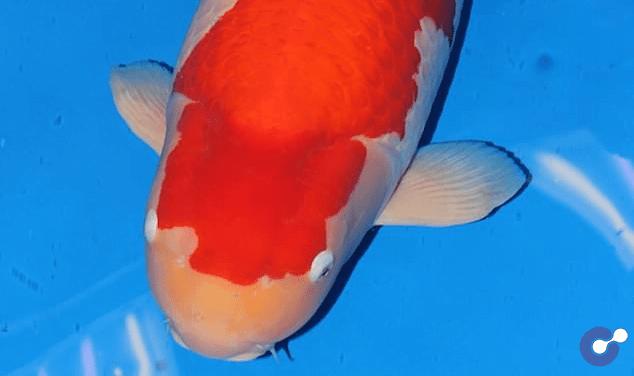 Choáng với cá Koi dài hơn 1 mét có giá gần 42 tỷ đồng tại Nhật Bản