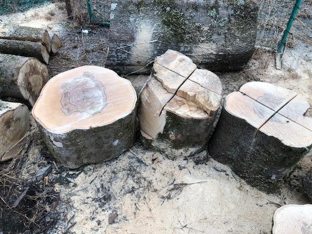 続いて、山師から購入したカシの巨木を切った。