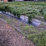 我が家の隣の畑がかぼちゃに占領されている件