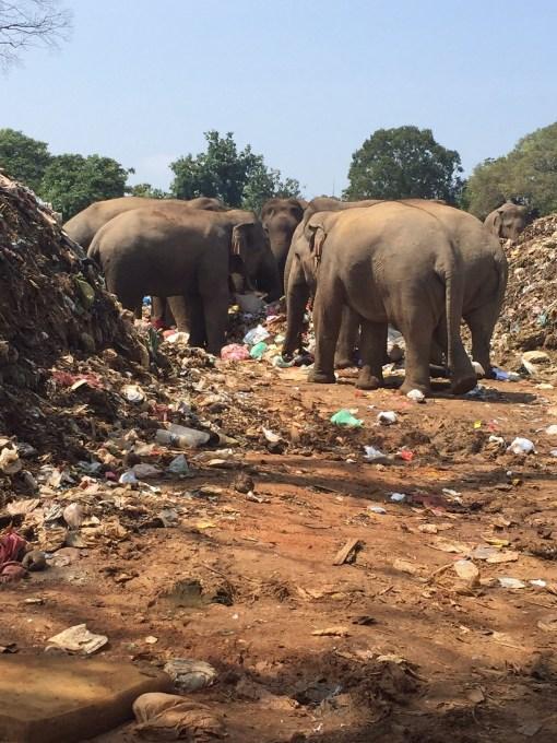 Dambulla Elephants