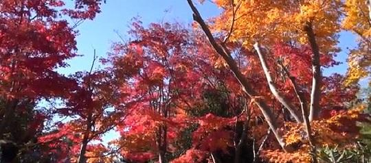 昭和記念公園の紅葉の見頃