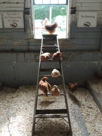 Chicken ladder.