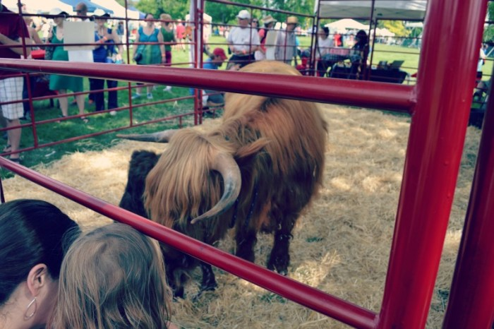 Highland and Scots Festival Animals