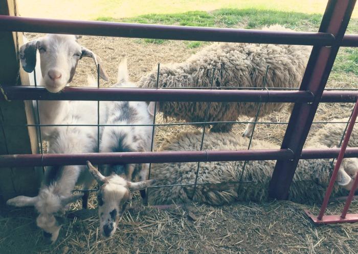 Road to Ludington Michigan - Petting Zoo