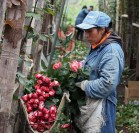 roses-valentines-ecuador-colombia