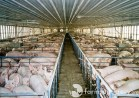 hauter-smithfield-Farm Sanctuary
