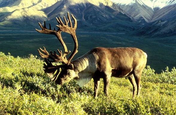Caribou-Alaska-field