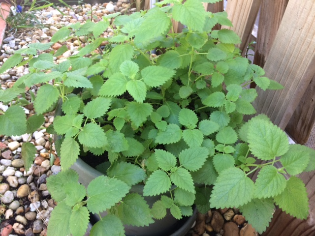 The witches garden should always have lemon balm growing.