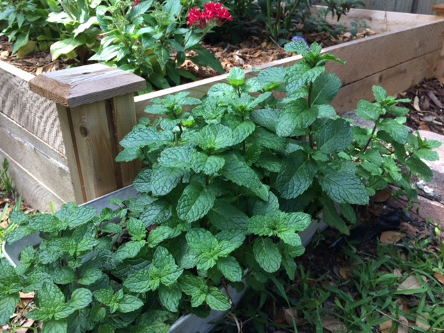 Mint is a useful witches herb.