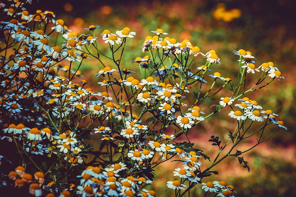 Chamomile is one of our must-have herbs for the witches herb cabinet!