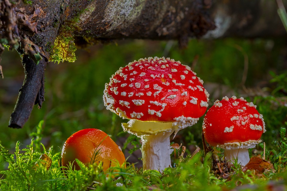 Fly agaric is a traditional poison in Norse shamanic history.