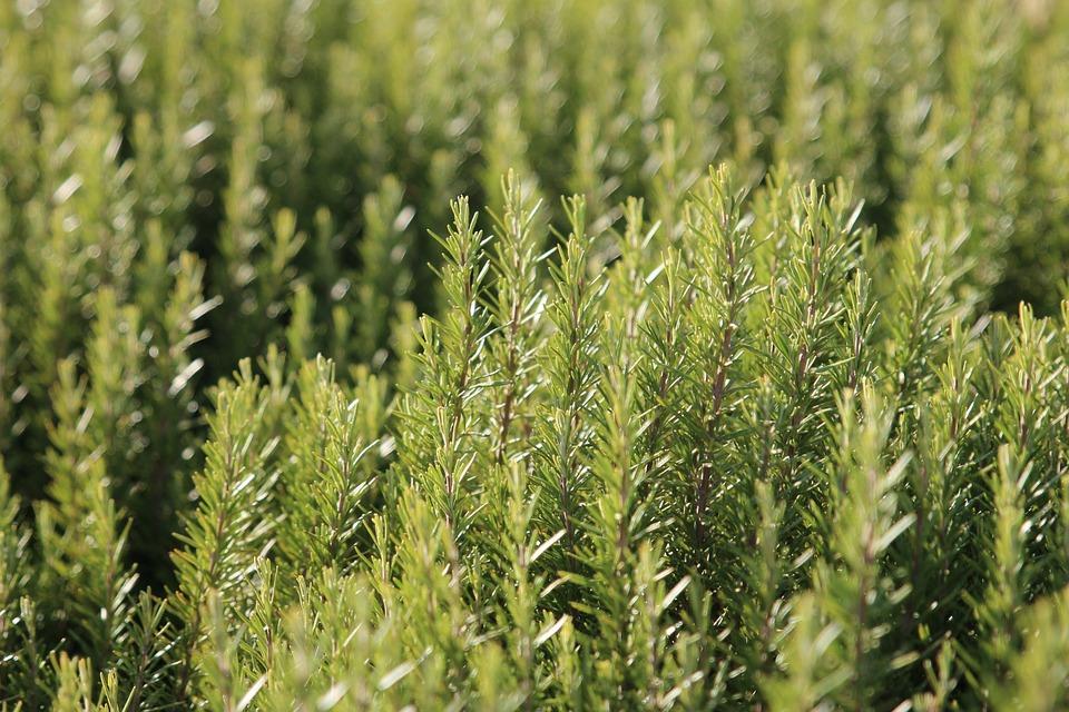 Rosemary has many magical and medicinal uses.