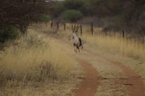 Eine Oryx-Antilope auf der Flucht