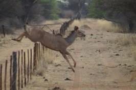 Eine Kudu-Kuh überspringt problemlos den Rinderzaun