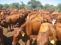 Rinder auf der Farm Otjimbuku