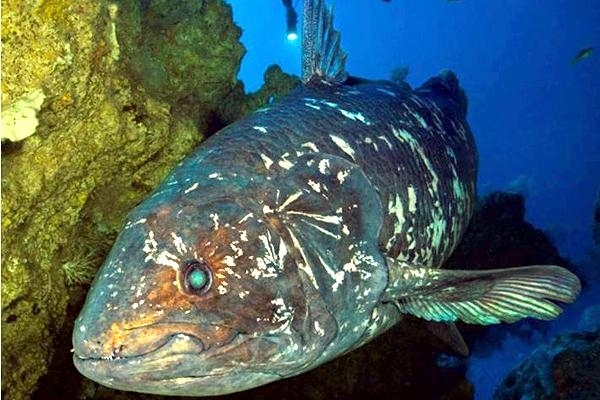 Coelacanth OCEAN TREASURES Memorial Library
