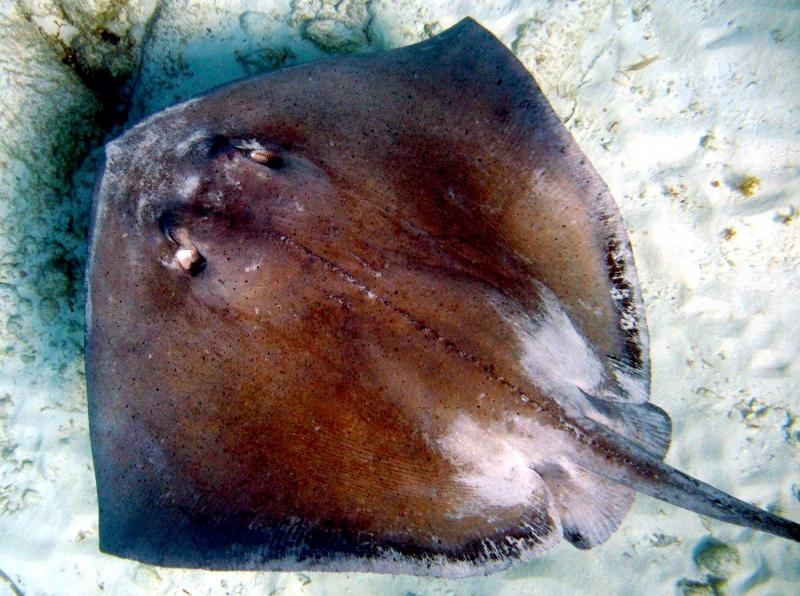 Common Stingray  OCEAN TREASURES Memorial Library