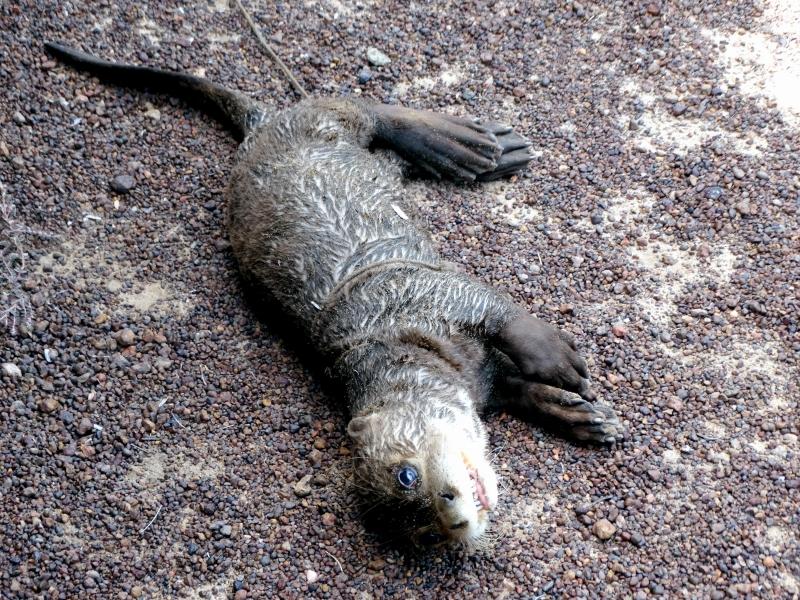 Giant Otter  OCEAN TREASURES Memorial Library