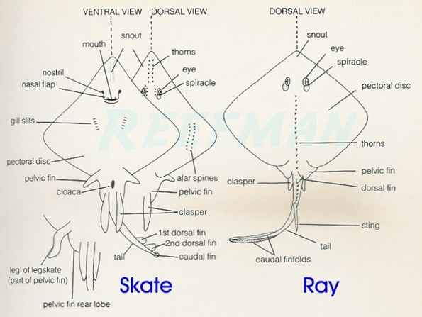 ray and skate diagram human respiratory system labeled differences between skates chimaeras rays ocean treasures have a different reproductive cycle than stingrays are oviviparous while oviparous meaning that they lay eggs which hatch