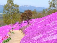 北海道桜2