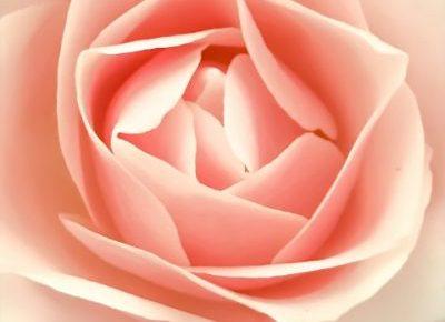 ピンク色の妖艶な薔薇の写真