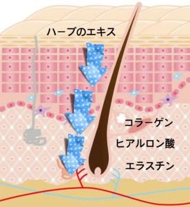 肌の断面図1 ハーバルピール効果の仕組みハーブが真皮に入る様子
