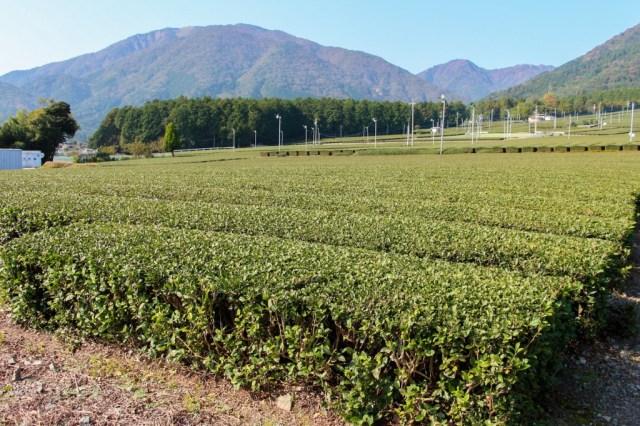 マルシゲ清水製茶さんのお茶畑。