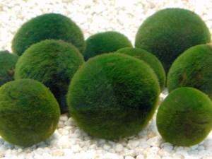 阿寒湖のマリモは美しい球状 画像引用:https://kam-kankouken.jp/
