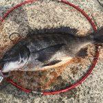 赤潮の海で黒鯛へち釣りしてきたよ。チヌには濁りが良いと言うが・・・・