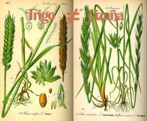 Diferencia entre el trigo y la mala hierba