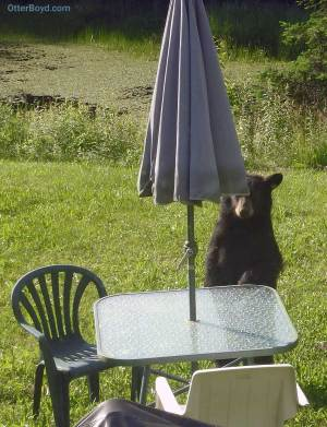 black bear cub standing at patio table