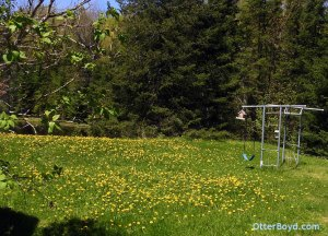 dandelions all over backyard