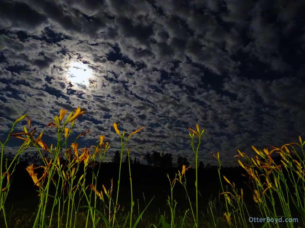 Daylilies in Moonlight
