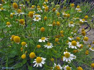 chamomile flowers growing through fence