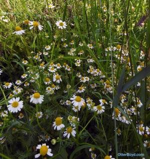 chamomile flowers in bloom