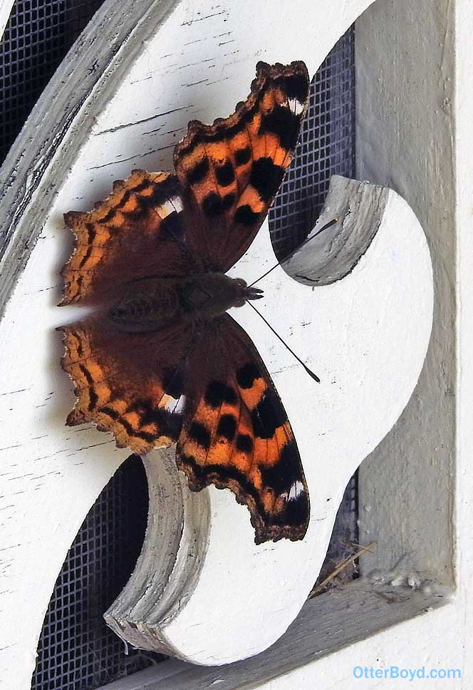 Orange Butterfly With Brown Markings and Spots