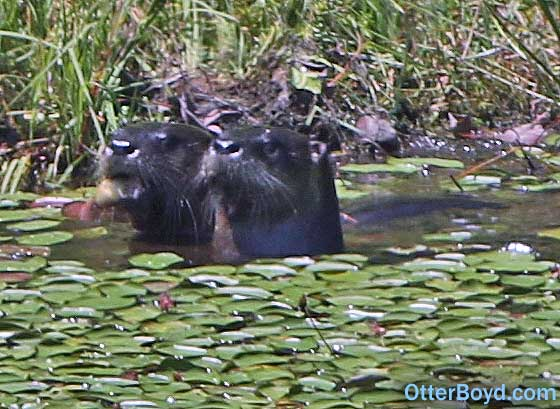 Family of River Otters in the Pond