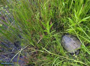 snapping turtle in long grass heading into pond
