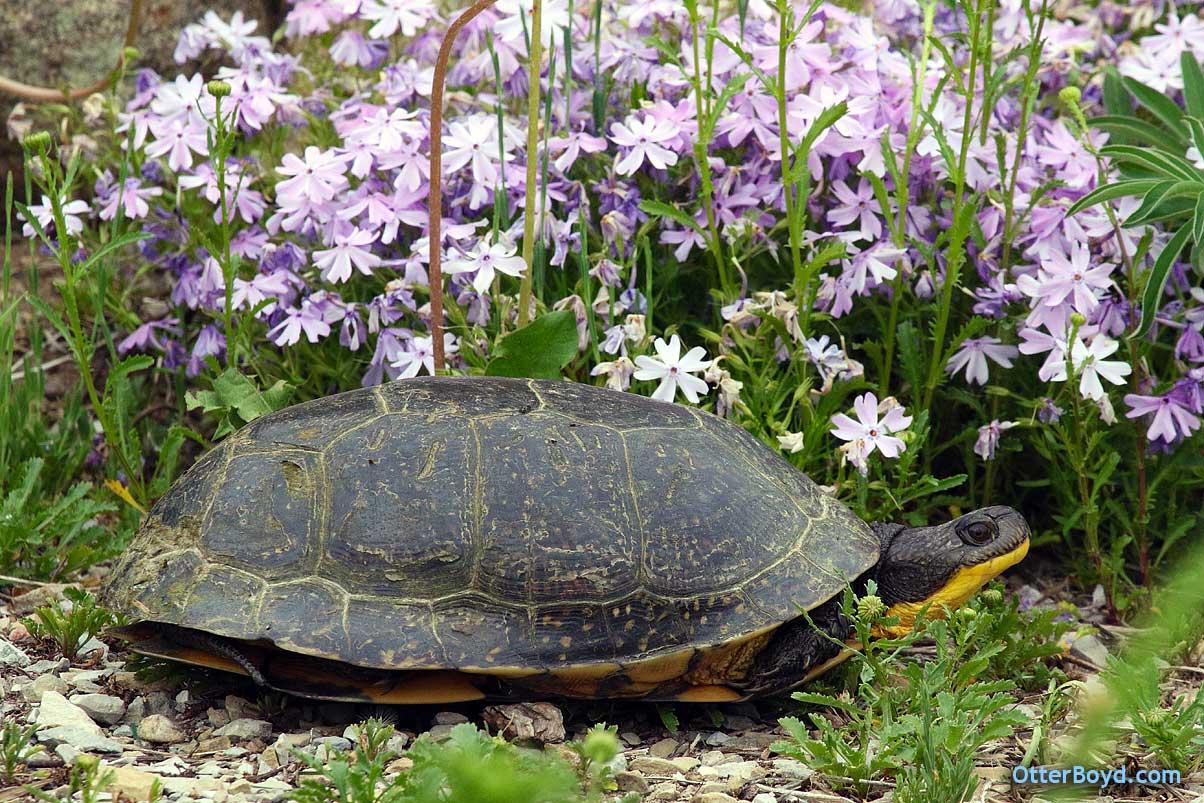 Muskoka Ontario Blanding's Turtles
