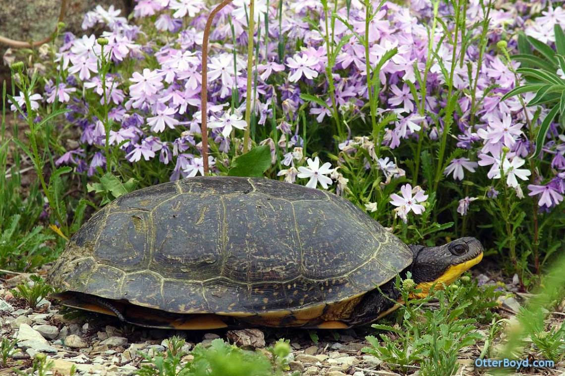 blandings turtle in flower garden muskoka ontario