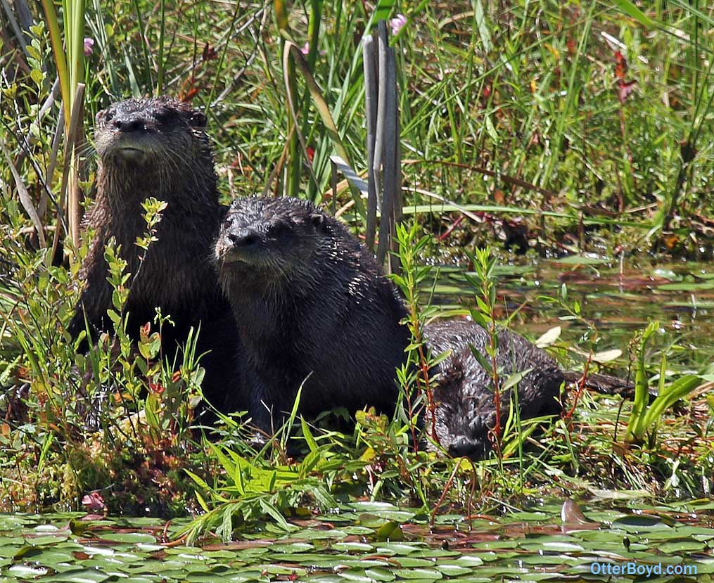 happy young otters at the pond