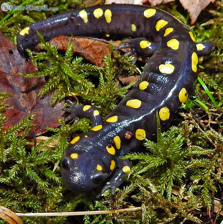 yellow spotted salamander crawling through moss in muskoka forest