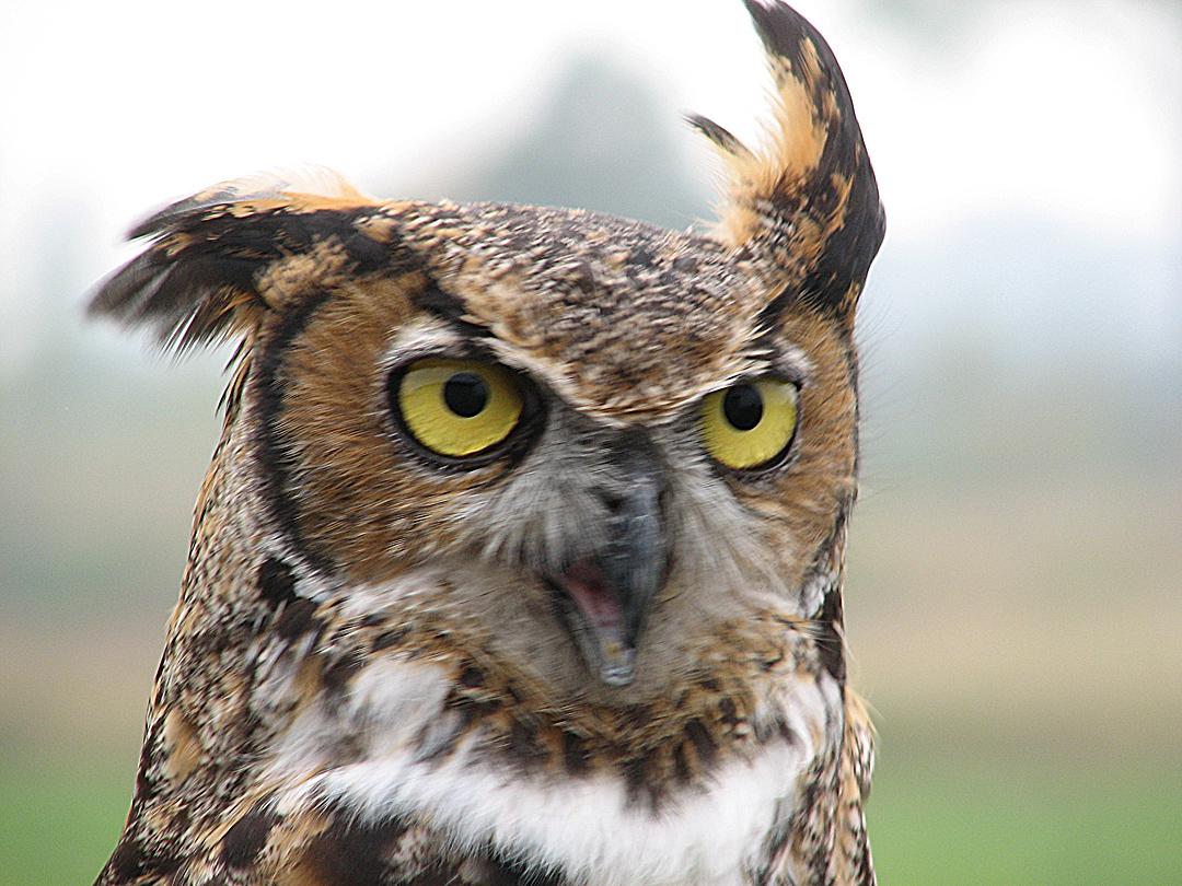 greathorned owl_resized