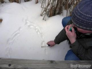Leader, Ron Payne measuring Mink tracks