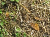 Remnants of a Meadow Fritillary
