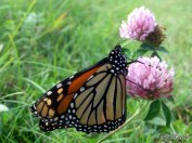 Newly emerged Monarch Butterflies